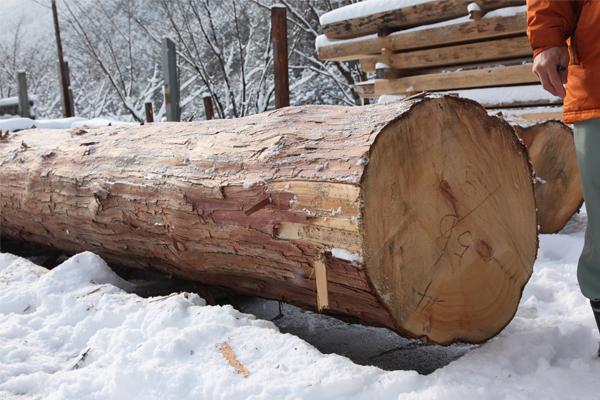 東濃ひのきの大木